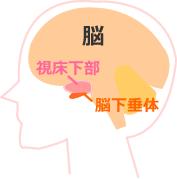 視床下部と脳下垂体